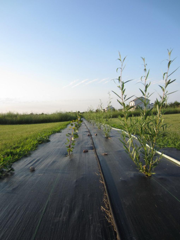 Hybrid Cuttings grow a windbreak and screen in one season. eb482b822c