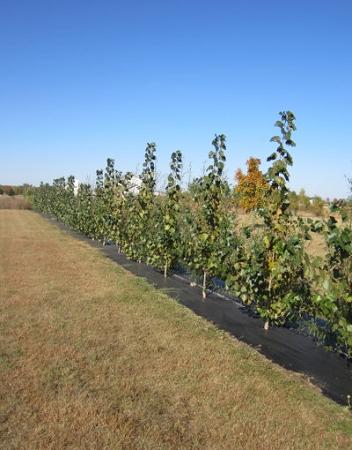 how to take hybrid poplar cuttings
