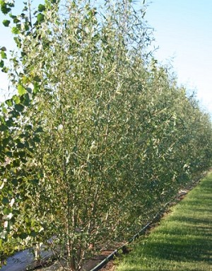 Hybrid Willow - 6 foot