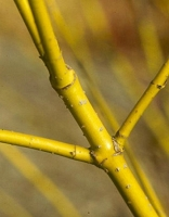 Yellow Twig Dogwood - 12